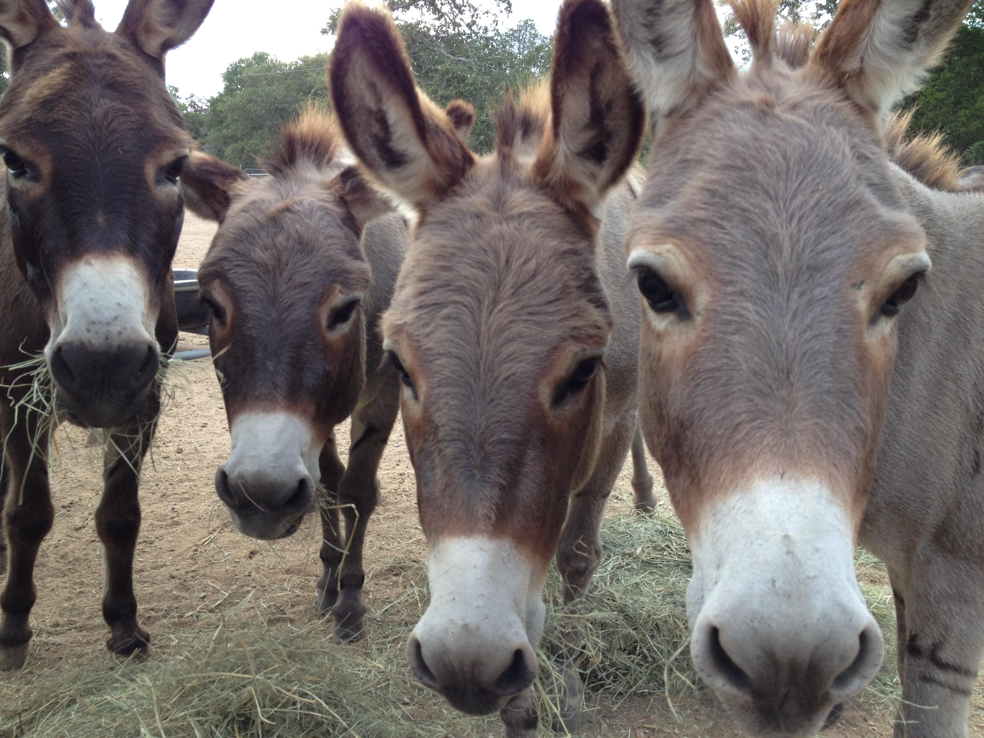 miniature donkeys texas